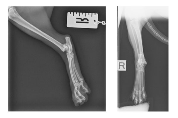 Damaged hock x-rays