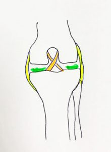Diagram of the canine stifle joint