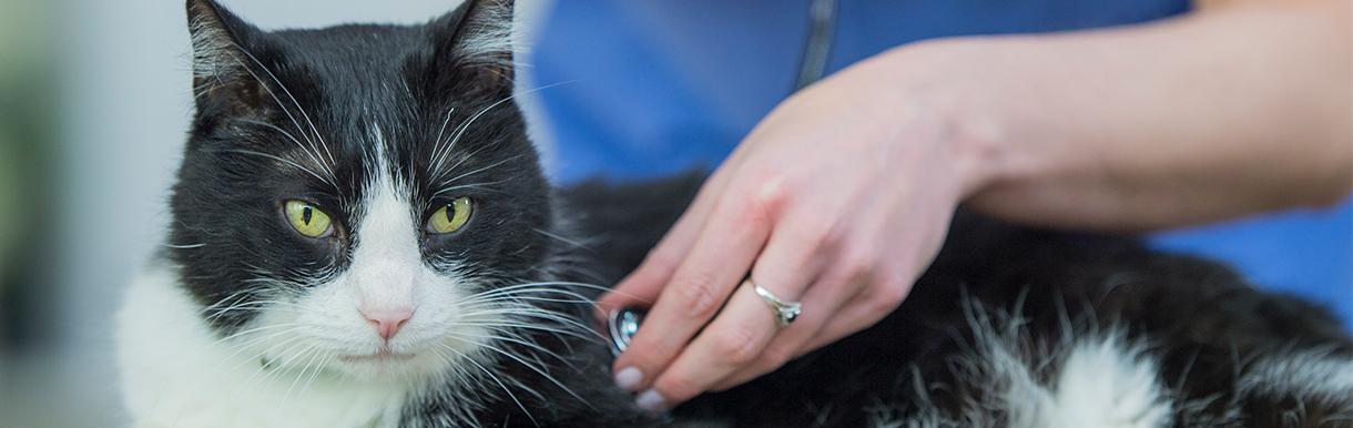 Cat with vet using stethoscope